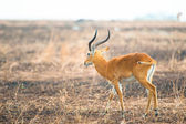 Profile of the African antelope posing in savanna — Stock Photo