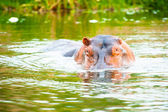 Image of the hippopotamus swimming in a huge river of Africa — 图库照片