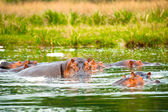 Image of the hippopotamus swimming in a huge river of Africa — Stok fotoğraf