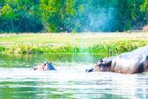 Hippopotamus swim the river of Uganda, Africa — Stock Photo