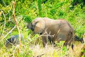 象は、サバンナの谷 — ストック写真