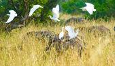 Bando de cegonhas encontrou um lugar para pousar, atrás do búfalo — Foto Stock