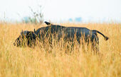 Bufflo walks over the savanna having a bird over its back — Stok fotoğraf