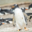 Gentoo penguin runs with something in the mouth. — Stock Photo