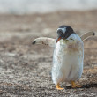 Photo of a little Gentoo penguin. — Stock Photo