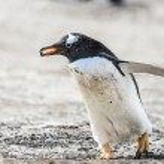 Gentoo penguin. — Stock Photo