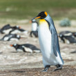 Stock Photo: King penguin walks thinking.