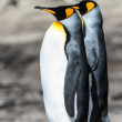 Couple of the KIng penguins. — Stock Photo #18554689