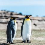due re pinguini sulla costa — Foto Stock