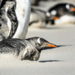 Gentoo penguin poses. — Stock Photo