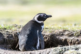 Magellanic penguin sits in a hall. — Stok fotoğraf