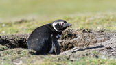 Magellanic penguin sits in a hall. — Stockfoto