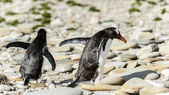 Gentoo penguins walk over the stones. — Photo
