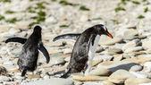 Gentoo penguins walk over the stones. — Stock Photo
