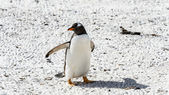 Gentoo penguin walks over the ground — Stok fotoğraf