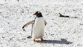Gentoo penguin walks over the ground — Stock Photo