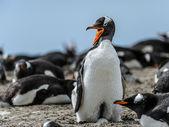 Gentoo 企鹅尖叫. — 图库照片