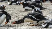 Gentoo penguins seek food — Stock Photo