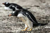 Gentoo penguin with food in the pick. — Stok fotoğraf