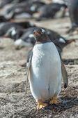 Pinguim-gentoo gordo. — Foto Stock