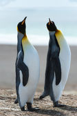Casal do rei pinguins. — Foto Stock
