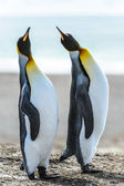 Couple of the KIng penguins. — Zdjęcie stockowe