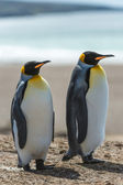 Couple of the KIng penguins. — Stock Photo