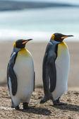 Paar des königs pinguine. — Stockfoto