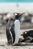 Gentoo penguin. — Stock Photo
