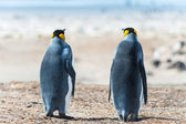 Two KIng penguins. Sight from the back — 图库照片