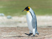 King penguin walks thinking. — Stok fotoğraf
