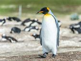 Kral penguen yürüyüşler düşünme. — Stok fotoğraf