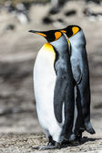 Couple of the KIng penguins. — Foto Stock