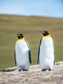 Par av konungen pingviner. — Stockfoto