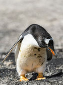Gentoo penguin looks down — Stock fotografie