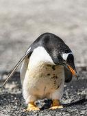 巴布亚企鹅低头 — 图库照片