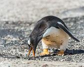 ジェンツー ペンギン、食品を探します. — ストック写真