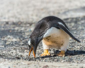 Gentoo penguin looks for the food. — Stock Photo