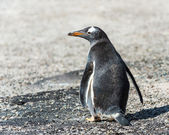Gentoo penguin from the back. — Стоковое фото
