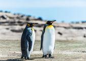 Iki kral penguenler sahil. — Stok fotoğraf