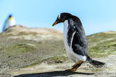 Gentoo penguin on the ground. — Stok fotoğraf