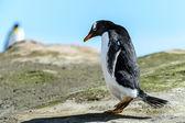 Gentoo penguin on the ground. — Stock Photo