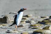 Gentoo penguin among the stones. — Foto de Stock