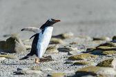 Pinguim-gentoo entre as pedras. — Foto Stock