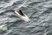 Draft Minke whale. — Photo