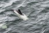 Taslak bayağı minke balinası. — Stok fotoğraf
