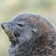 Close view of the Atlantic fur seal. — Stock Photo