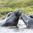 Atlantic fur seals try to kiss each other. — Stock Photo