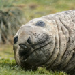 Cute look of the atlantic seal. — Stock Photo