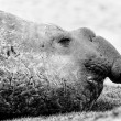 Elephant seal in black and white. — Stock Photo